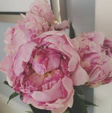 current snapshots blooming pink peonies my absolute favorite