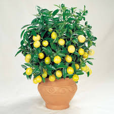 Patio Fruit Trees Uk by Cheap Dwarf Patio Fruit Trees For Sale Buy A Miniature Fruit