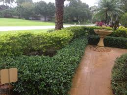 south texas native plants green island ficus and gold mound south texas plants ornamental
