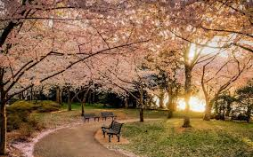 morning blossom wallpapers nature landscape park lawns bench trees sunset cherry