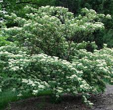 pagoda dogwood a beautiful tree with branching that can create a