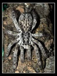 indian ornamental poecilotheria regalis care sheet spider