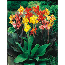 cana lilly shop garden state bulb 8 pack mixed canna bulbs lb3461b at