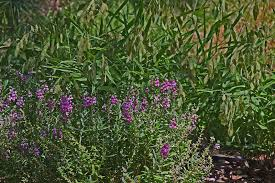 deer resistant native plants plantanswers plant answers u003e angelonia or summer snapdragon