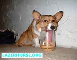 dog peanut butter stupid dog dog falling corgi peanut butter lazer