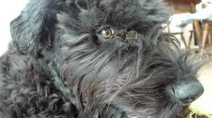 schnauzer hair cut step by step bouvier schnauzer brt how to groom fur on muzzle that sticks up