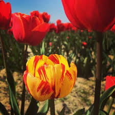 Skagit Valley Tulip Festival Bloom Map How To Attend The Skagit Valley Tulip Festival U2022 Valerie And Valise
