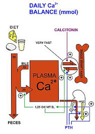 Which Cell Helps In Movement Of Bones Calcium Metabolism Wikipedia