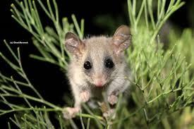 eastern pigmy possum gumnut naturalist