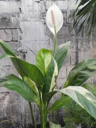 Easy House Plants Rufibarba Fenzl Uwavestaru Blomster Pinterest Calathea Indoor
