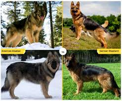 belgian sheepdog vs belgian shepherd 11 dog breeds like the german shepherd pethelpful
