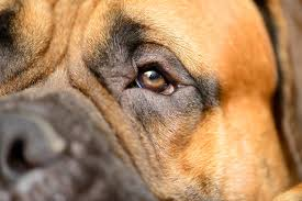 Causes Of Sudden Blindness In Dogs Pupil Size In Dogs Symptoms Causes Diagnosis Treatment