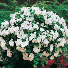 impatiens flowers accent hybrid impatiens flower seeds