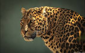 jaguar wallpapers jaguar live images hd wallpapers w web