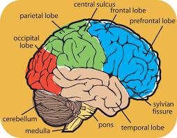Image Of Brain Anatomy Anatomy Of Brain Lingaraj 1976 U0027s Photo