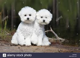 bichon frise jumping dog bichon frise two adults sitting at the edge of a lake stock