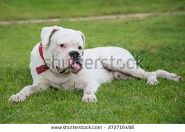 boxer dog white red and white boxer dog stock images royalty free images