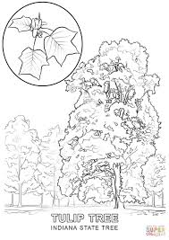 indiana state tree coloring page free printable coloring pages