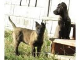 belgian malinois rescue va view ad belgian malinois puppy for sale washington mount vernon
