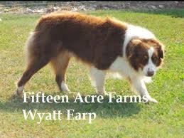 australian shepherd puppies under 500 fifteen acre farms australian shepherds australian shepherd
