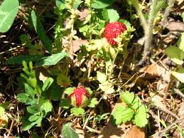 wild strawberries poisonous careful when foraging