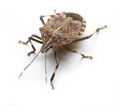 What Do A Bed Bug Look Like The Life Cycle Of A Baby Stink Bugs U0026 Best Ways To Get Rid Of