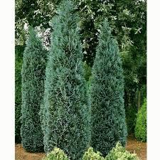 chamaecyparis lawsoniana columnaris glauca lawsons cypress