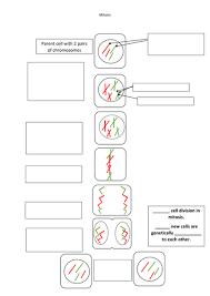 all worksheets mitosis worksheets printable worksheets guide