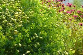 swamp milkweed archives the obsessive neurotic gardener