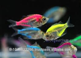 glass fish mix color for sale ornamental fish international