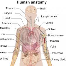 human anatomy 6th edition martini image collections human