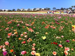 san diego flowers the flower fields are ablaze with the beauty of color carlsbad