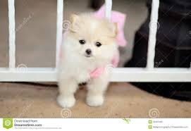 pomeranian puppy stock photo image of looking 35461680