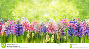 blooming spring hyacinths flowers plant in garden stock photo