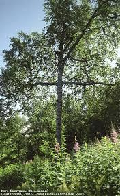 the cross tree solovetski island photos solovki