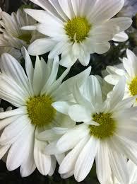 discovering daisies freytags florist