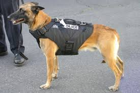 belgian malinois vest keeping the k 9 unit safe hounds on working leashes lehigh valley