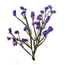 statice flowers tissue culture statice purplish blue flower farm fresh exports