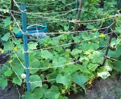 Trellis For Cucumbers In Pots 20 Clever Gardening Hacks The Gardening Cook