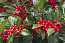 when to prune native plants when is the best time for pruning holly