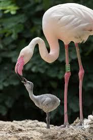 flamingo zooborns