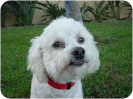 affenpinscher with underbite chester adopted dog la costa ca bichon frise mix