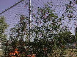 Purple Flower On A Vine - solanum dulcamara bittersweet nightshade minnesota wildflowers