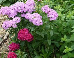 sweet william flowers wildflower sweet william great in flower borders tending my