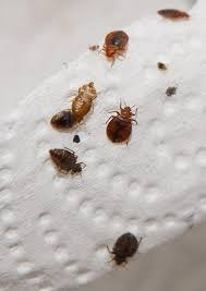 Tiny Brown Bug In Bathroom Tiny Black Bugs That Jump Brown In Kitchen Springtails House Near