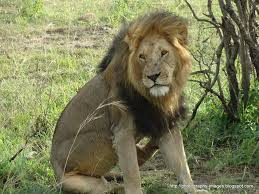 real jungle animals lion