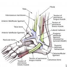 Lateral Collateral Ligament Ankle Peroneal Tendon Syndromes Practice Essentials Epidemiology