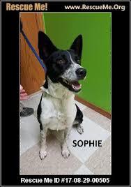 australian shepherd rescue kansas australian shepherd rescue u2015 adoptions u2015 rescueme org