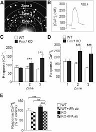 tissue plasminogen activator contributes to alterations of