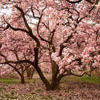 how to grow magnolia trees in the midwest gardening ideas